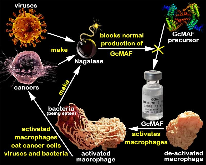 Cancer and Gc-MAF