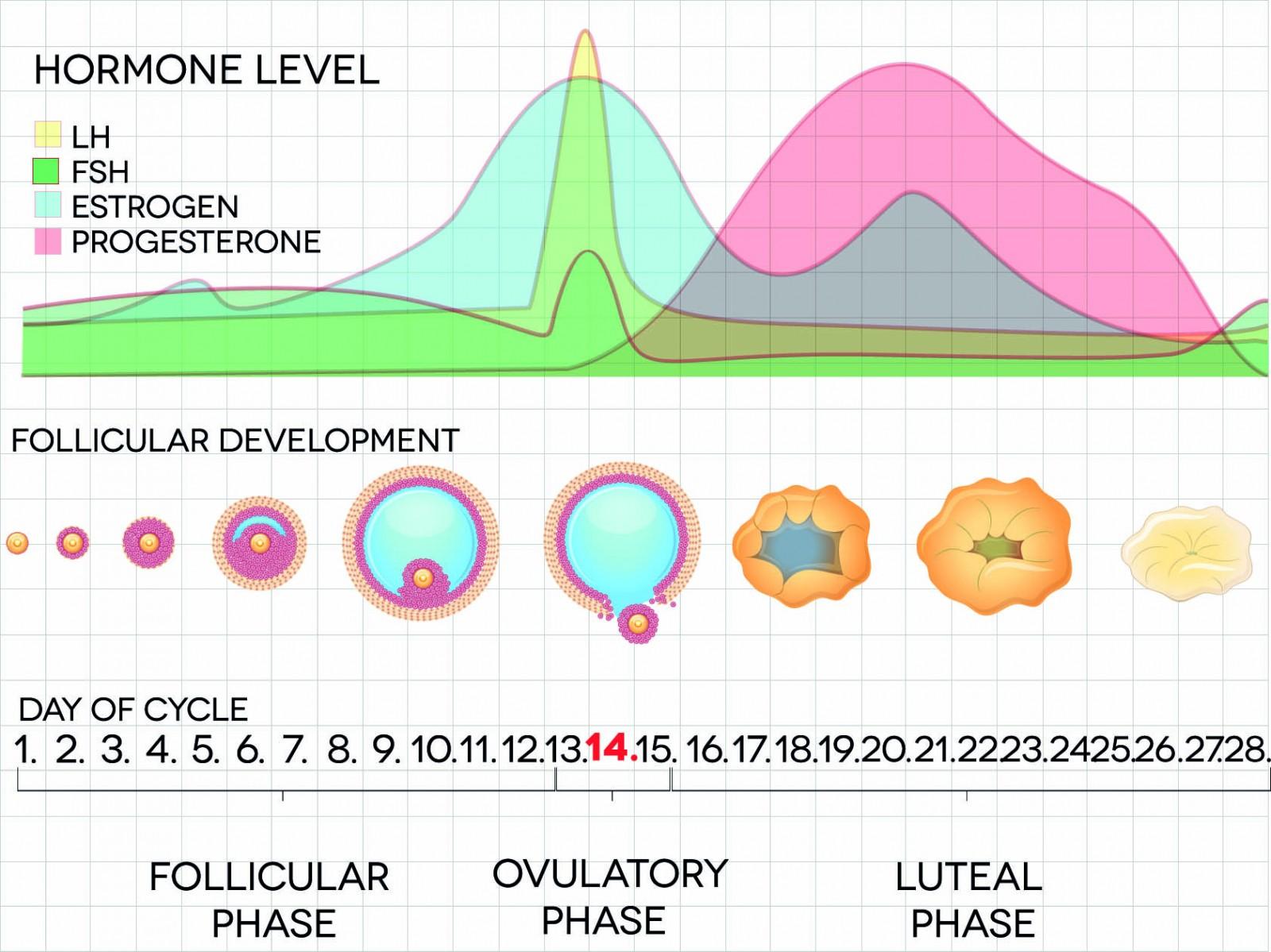 Female menstrual cycle chart