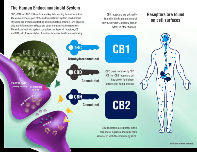 Understanding CB1 and CB2 Receptors 1