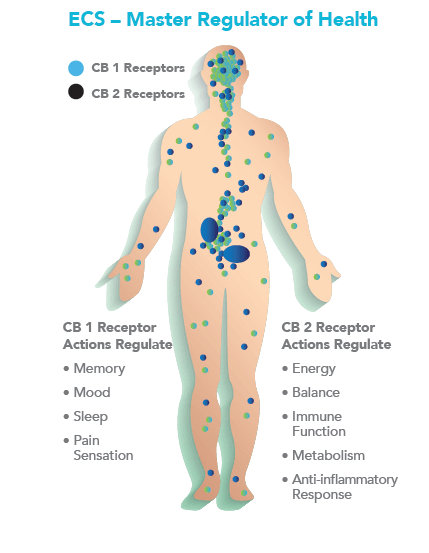 ecs-Endocannabinoid-System-master-regulator-of-health-cb1-cb2
