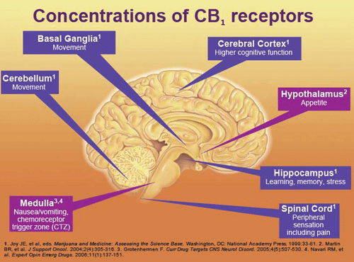 CBD and Brain Health 1