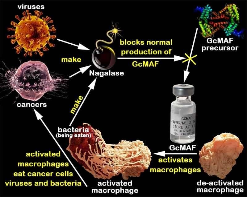 Sunivera-Immunotherapy-macrophage-GcMAF-cycle