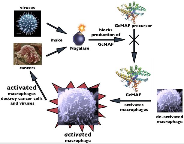 Sunivera-Immunotherapy-nagalase-gcmaf-loop