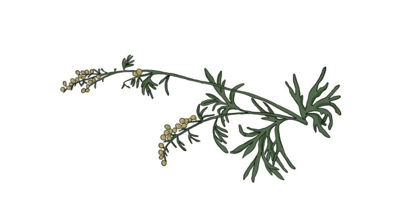 Artemisia-a-potent-nutraceutical-conners-clinic-natural-health-cancer