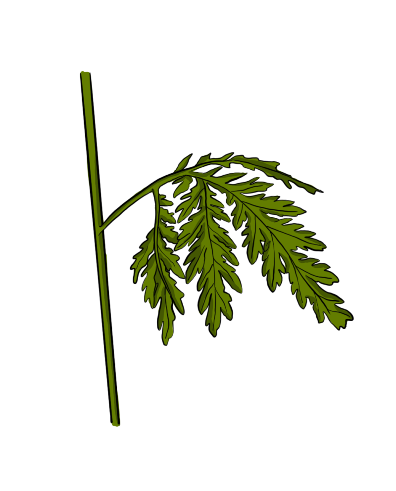 Artemisia—A Potent Nutraceutical 1