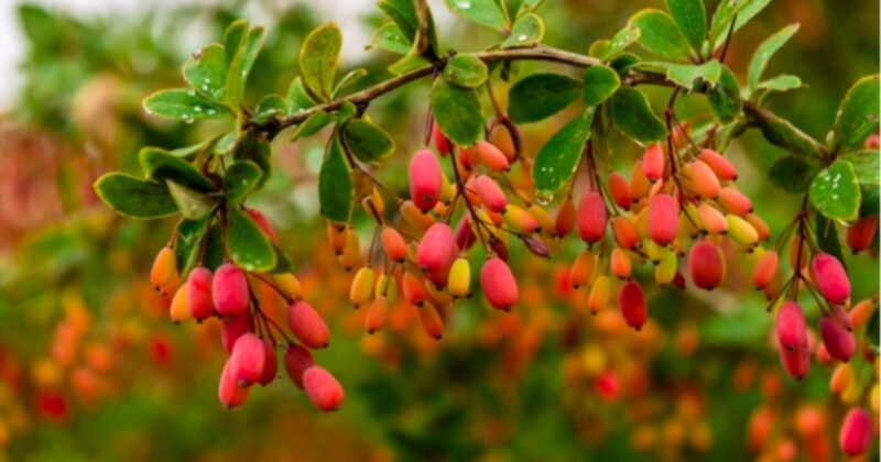 Berberine-and-cancer-conners-clinic-natural-health-alternative-medicine