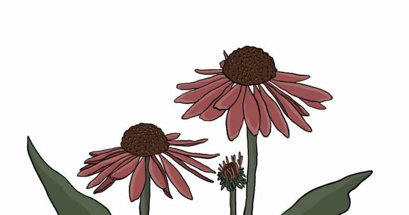 Echinacea-unique-anticancer-and-immune-boosting-abilities-conners-clinic-cancer-natural-remedy