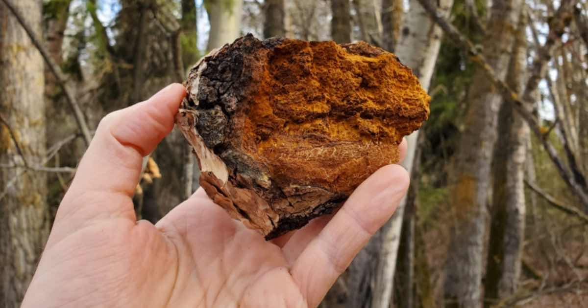chaga-the-treasure-of-the-forest-conners-clinic-natural-health